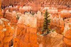 Survival (EML.photography) Tags: pine utah nationalpark tropic bryce brycecanyon ponderosa hoodoos queensgarden