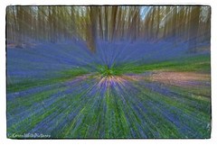 zooming bluebells (sure2talk) Tags: bluebellwoods zoomeffect nikond60 micheldeverwoods nikkor1855mmf3556afs 116picturesin201683zoomeffect zoomingbluebells