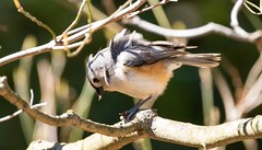 7K8A3863 (rpealit) Tags: park new bird nature scenery wildlife jersey titmouse tufted