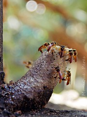 Abelhas Jataí. (MoniQue Peres) Tags: brazil brasil sãopaulo bees bee abelha brotas ingleses amarela abelhas jati mariola jataí stingless españolita eusocial seteportas angelitas abelhajataí abelhamirim virgencitas jataíamarela trêsportas abelhaouro mosquitinhaverdadeira abelhadebotas brotasspbrasil ourojatimirimmosquitinhaverdadeiraseteportastrêsbotastetragonisca angustulatetragoniscaangustulasmall beeyateijatyvirginitasangelitas chipisas mariolitas