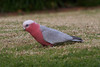 Galah (Byron Taylor) Tags: bird nature birds canon wildlife parrot australia southpacific urbannature nsw urbanwildlife galah dural australiasia canon7d