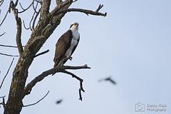 Osprey (male) (Denis Rule) Tags: raptor prey osprey of