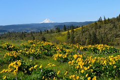 Yellow Hills by Jim (alpenglowtravelers) Tags: river columbia gorge balsamroot