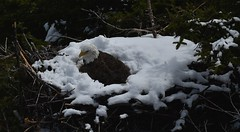 A Cross to Bear - April 27th (Insearchoflight) Tags: birds wildlife eagles raptors signalhill baldeagles cuckoldscove naturepix newfoundlandandlabrador afewmoredays insearchoflight americaneagles stjohnsnl nestingeagles waynenorman
