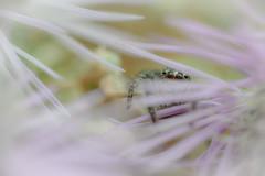 Oh, hi ! (aeyuio) Tags: wild macro nature alpes bug spider nikon wildlife nikkor jumpingspider insecte araigne alpesmaritimes arachnide kenko salticidae saltique nikon105vr araignesaltique nikond750