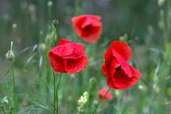 Fiori di Maggio (lorenza_panizza photography) Tags: red primavera spring poppy poppies papaveri papaverirossi fioridiprimavera fomenica1maggio