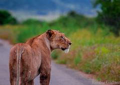 Lioness (Robbie Gallant) Tags: africa road travel animal cat mammal photography wildlife lion safari predator kruger