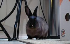 Toki in the kitchen (Anomieus) Tags: pet cute rabbit bunny bunnies animal furry konijn conejo tail ears rabbits paws coney coelho lapin kaninchen houserabbit coniglio cottontail  cony kanin  krlik leporidae nyl  iepure  leporid    kuni