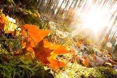 Last day of Autumn (laurin.gutwin) Tags: autumn sun tree fall forest germany bayern deutschland bavaria leaf ray floor angle herbst natur gras blatt sonne wald baum nrnberg boden duch strahl