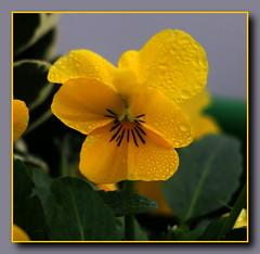 Stiefmtterchen (p_jp55 (Jean-Paul)) Tags: flower macro fleur rain pansy pluie makro regen pense nahaufnahme bloem stiefmtterchen remich rimech