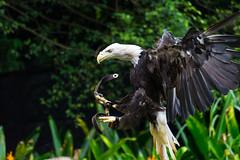 The Grasp (American Bald Eagle) (Alden Lim) Tags: bird fly singapore eagle flight bald talon american raptor catch claws grasp
