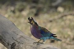 Lilac-breasted Roller - Coracias caudatus (lyn.f) Tags: botswana lilacbreastedroller chobenationalpark coraciascaudatus