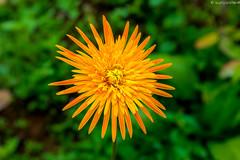 Yellow flower (cheruvadiyan) Tags: india flower beauty yellow fuji kerala fujifilm calicut kozhikode x100t