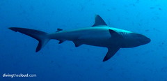 Grey reef shark - Tiburn gris (divingthecloud) Tags: sea fish pez animal shark mar agua diving maldives tiburon buceo maldivas fotosub bajoelagua greyreefshark tiburongris