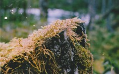 meep (v.cars) Tags: colour film nature analog 35mm moss outdoor cosina