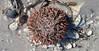 Lytechinus variegatus (variegated sea urchin) (Cayo Costa Island, Florida, USA) 1 (James St. John) Tags: sea costa island florida short variegated urchin urchins cayo echinoid spined variegatus echinoidea echinoids lytechinus