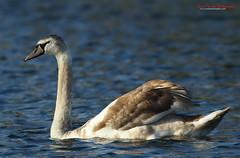Mute Swan Cygnet, Cygnus olor (Midlands Reptiles & British Wildlife Diaries) Tags: park lake david hall swan nixon staffordshire mute cygnus olor