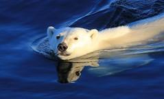 Polar Bear - Ursus maritimus  (Greenland) (93) (Richard Collier - Wildlife and Travel Photography) Tags: wildlife polarbear arctic arcticwildlife greenland marinemammals naturalhistory bears ngc coth5 naturethroughthelens