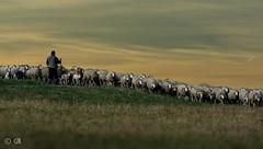 shepherd (hardy-gjK) Tags: dog landscape evening abend weide nikon sonnenuntergang sheep sundown shepherd snapshot flock hund pasture landschaft schfer schaf herde nikor schnapschuss