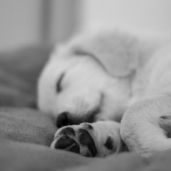 Peace (jacqueschoeffel) Tags: blackandwhite bw dog chien monochrome goldenretriever canon puppy eos 50mm noiretblanc nb chiot calme paix ef50mmf14usm 70d