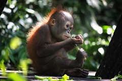 Eat with your feet (leewoods106) Tags: trip travel light vacation baby holiday face canon hair island photography photo hands holidays asia southeastasia photographer photos eating journey malaysia borneo orangutan ape traveling sabah beautifulview beautifulmoments traveler rehabilitationcentre rehabilitation beautifulplaces rasaria shangrilarasaria offthebeatentrack beautifulimage wonderfulplaces beautifulanimals mustseeplaces incredibleplaces canoneosm canonefs55250mmstm rasariarehabilitationcentre