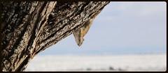 Essaye pas je t'ai vu...Trying Not I Saw You... (francepar95) Tags: winter snow game tree ice animal rodent squirrel hiver bank hideandseek bark neige arbre glace corce jeu rive cachecache stlaurentriver fleuvestlaurent rongeur cachette petiterivirestfranois bordure cureuilpetiterivirestfranois