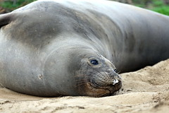 Elephant Seal Adventure (Photographing Travis) Tags: park beach nature animals creatures halfmoonbay pescadero anonuevo elephantseal