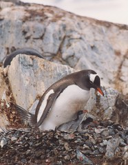 1998_01_13_20 (petermit2) Tags: ice penguin gentoo antarctica chick antarctic paradisebay gentoopenguin antarcticpeninsula paradiseharbour grahamland