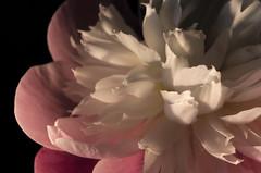 Paeonia (JPetr) Tags: flowers plants nature garden paeonia