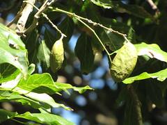 starr-091104-9055-Castanospermum_australe-fruit_and_leaves-Kahanu_Gardens_NTBG_Kaeleku_Hana-Maui (Starr Environmental) Tags: castanospermumaustrale
