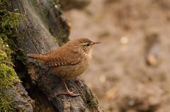 Wren-6622 (Kulama) Tags: winter nature birds woods westsussex wildlife wren warnham