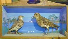Stuffed Birds (Dickie Imaging) Tags: uk birds scotland stuffed unitedkingdom taxidermy shetland dickie gbr colindickie dickieimaging