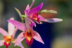 /Laelia anceps var.veitchiana (nobuflickr) Tags: orchid flower nature japan botanical kyoto    the garden  laeliaancepsvarveitchiana   20160130dsc09489