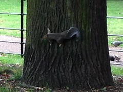 As you can see I had to enlarge this pic in order of you to see the squirrel looking at me. #shocked  Kensingtons Gardens, London 2015 x (wendymerton@btinternet.com) Tags: shocked