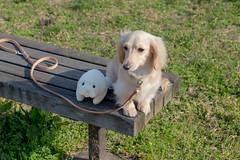 IMG_0585 (yukichinoko) Tags: dog dachshund 犬 kinako ダックスフント ダックスフンド きなこ