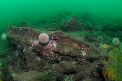 Scotland-201508-IsleOfMay-Anlaby-14-HoldCowling (Tony J Gilbert) Tags: scotland nikon marine underwater diving d300 underwaterphotography stabbs eyemouth scottishborders greenends nestends wwwthehomearmscom thehomearms stabbseyemouthvoluntarymarinereserve wwwdivestaycouk barefootsmarinereserve