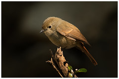 slaty blue flycatcher (female) (viwake) Tags: negi uttarakhand