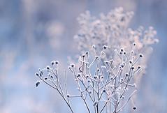 Eisbonbonfarben (Manuela Salzinger) Tags: morning schnee winter snow ice sunrise frost eis sonnenaufgang morgen