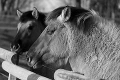 Konik-Pferde - 2016-003_Web (berni.radke) Tags: horse pferd konik konikhorses olfen steverauen konikpferde