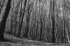 alberibw (DarioMarulli) Tags: trees bw nature alberi monocromo nikon natura albero autunno biancoenero abruzzo laquila foresta parconazionaledelgransasso d3200 nikonclubit