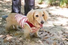IMG_1231 (yukichinoko) Tags: dog dachshund 犬 kinako ダックスフント ダックスフンド きなこ