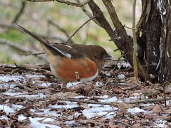 Female Eastern Towhee_N9235 (Henryr10) Tags: bird avian towhee littlemiamiriver easterntowhee pipiloerythrophthalmus pipilo erythrophthalmus cincinnatiparkboard magrishriverlandspreserve nationalsceniclittlemiamiriver