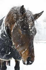 Pleading (Nix Alba) Tags: winter horses horse snow nature weather outdoor snowstorm racehorse thoroughbred equine equines offtrack