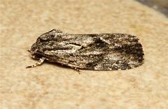 Noctuidae (Moth sp.) - South Africa (Nick Dean1) Tags: insect southafrica moth lepidoptera arthropoda krugernationalpark satara arthropod hexapod insecta hexapoda