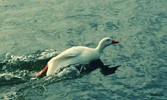 PATO A ESCAPE (lourdestorreira) Tags: pjaros ave nadar pato carrera prisa acuatica nado