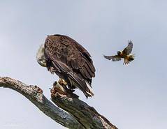 CONOWINGO IMG_7319 2013_25_05 2.0 (catoledo) Tags: nest hartford americanbaldeagle baltimoreoriole conowingo 2013 matchpointwinner mpt501