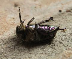 +IMG_2477 Olajzld virgbogr (Protaetia cuprea)_cr (NagySandor.EU) Tags: cetoniinae protaetiacuprea rzsabogrformk olajzldvirgbogr