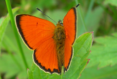 summer 2009     Scarce Copper butterfly guldvinge (grynetvalp) Tags: allnaturesparadise naturebynikon