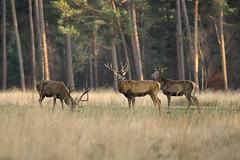 Edelherten (Boele-Siepel) Tags: outdoor wildlife deer herten nationaalparkdehogeveluwe edelherten