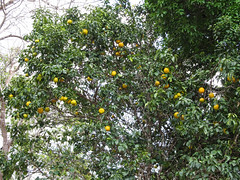 "Uxmal: un oranger <a style=""margin-left:10px; font-size:0.8em;"" href=""http://www.flickr.com/photos/127723101@N04/25324051214/"" target=""_blank"">@flickr</a>"